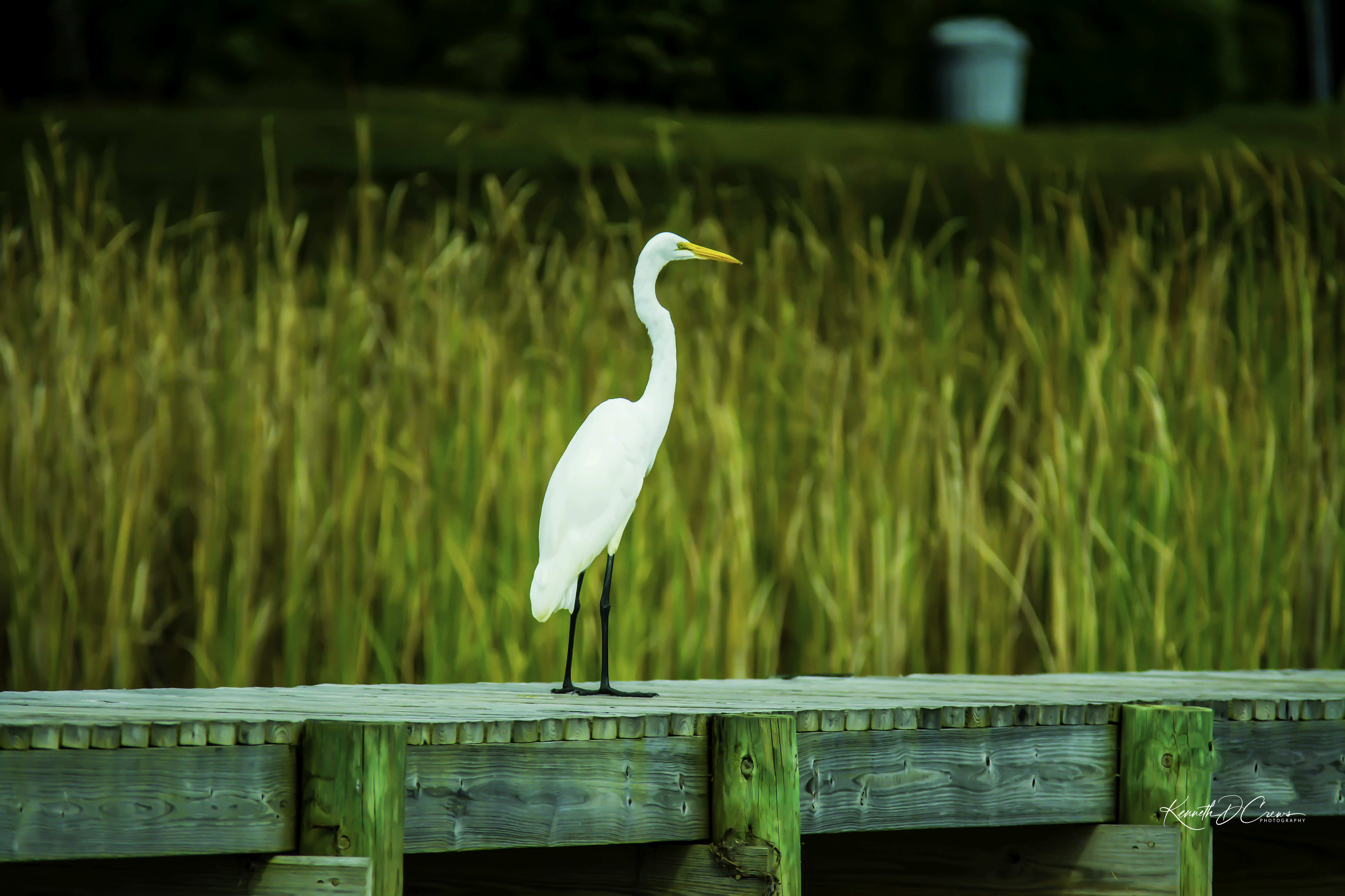 Egret - Great Whit1-1