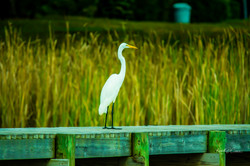 Egret - Great Whit1-1