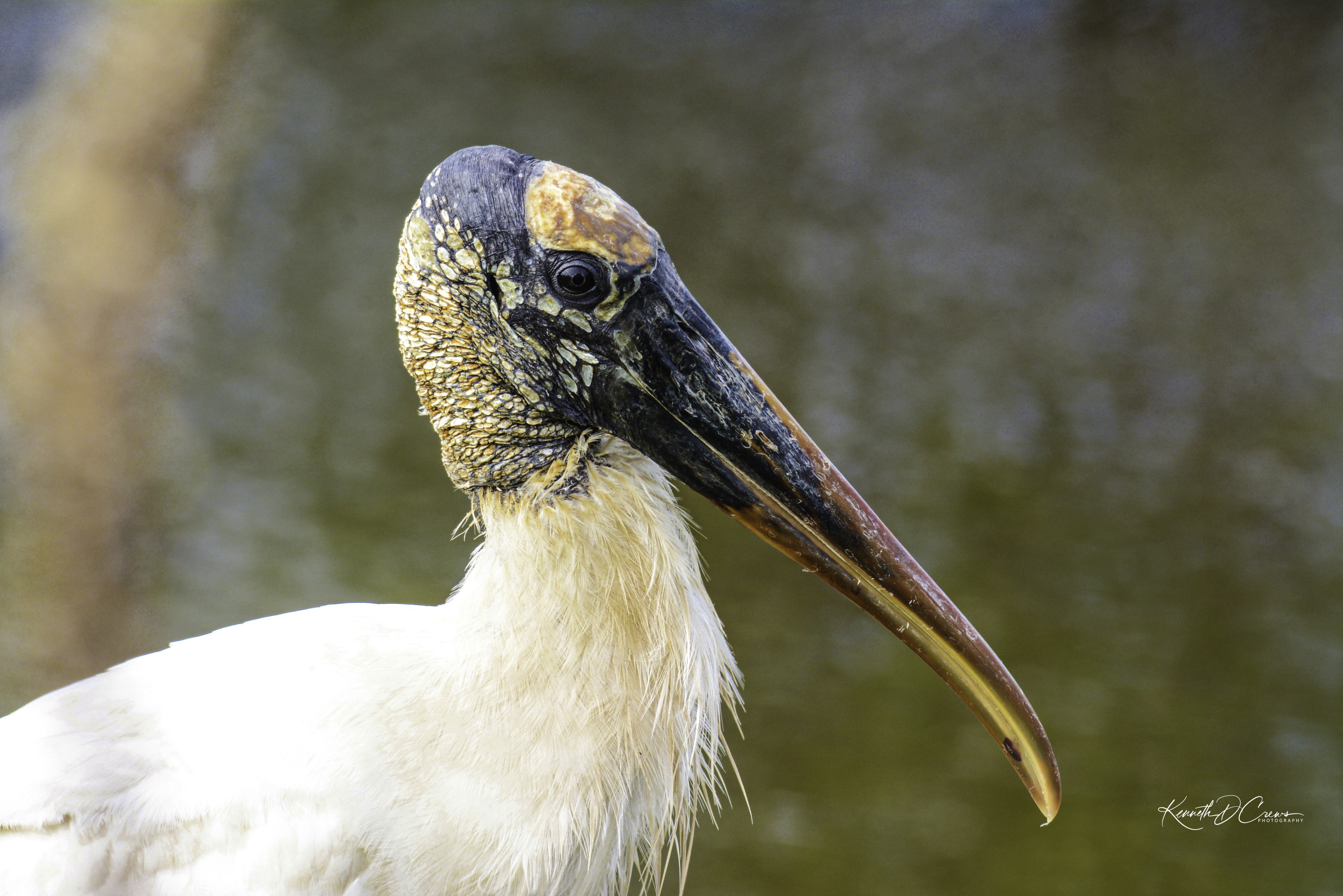 Wood Stork-1