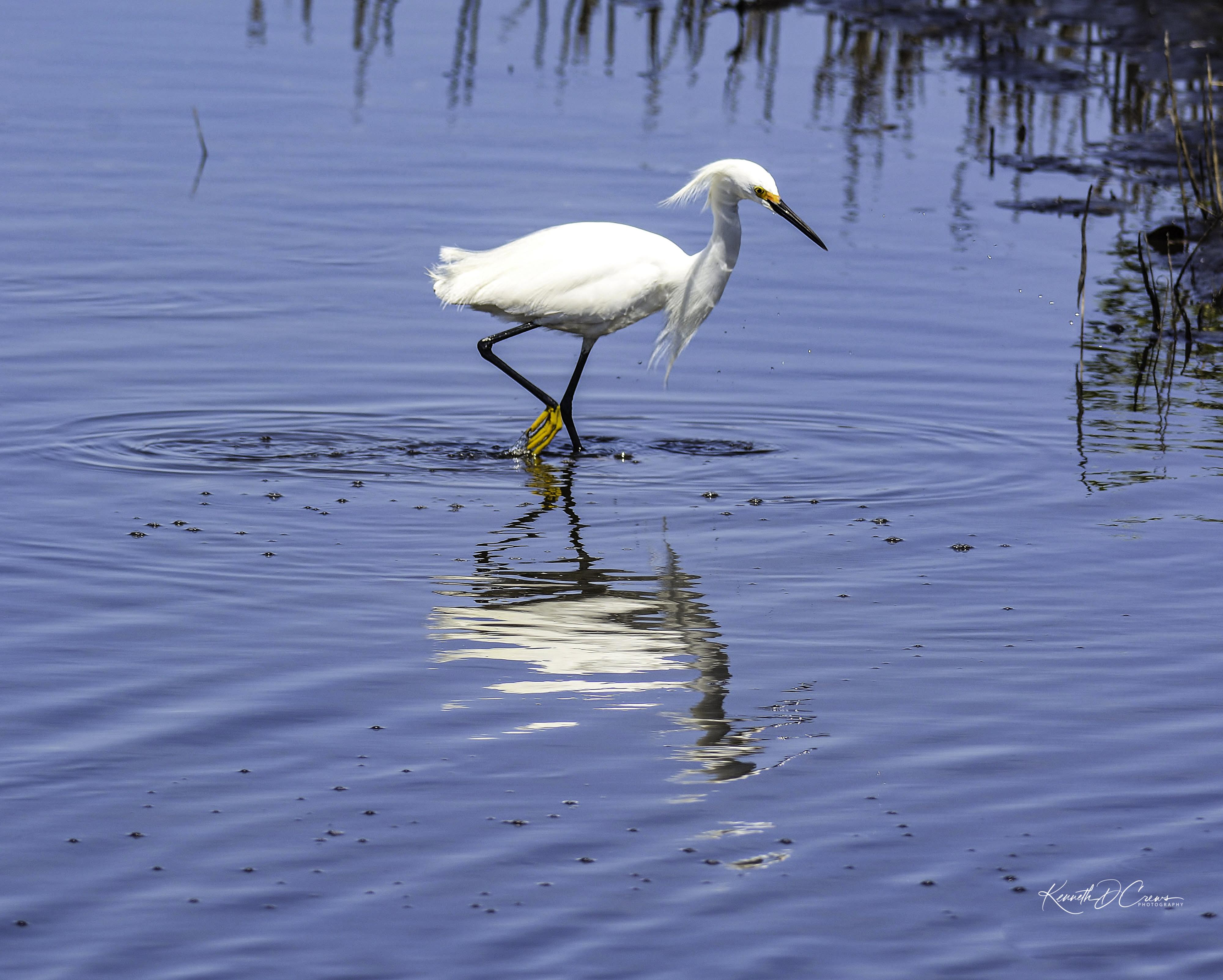 Egret - Snowy-1