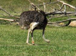 Zoo Ostrich-1