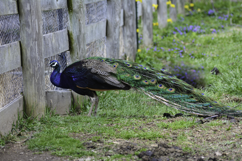 Peacock 1-1