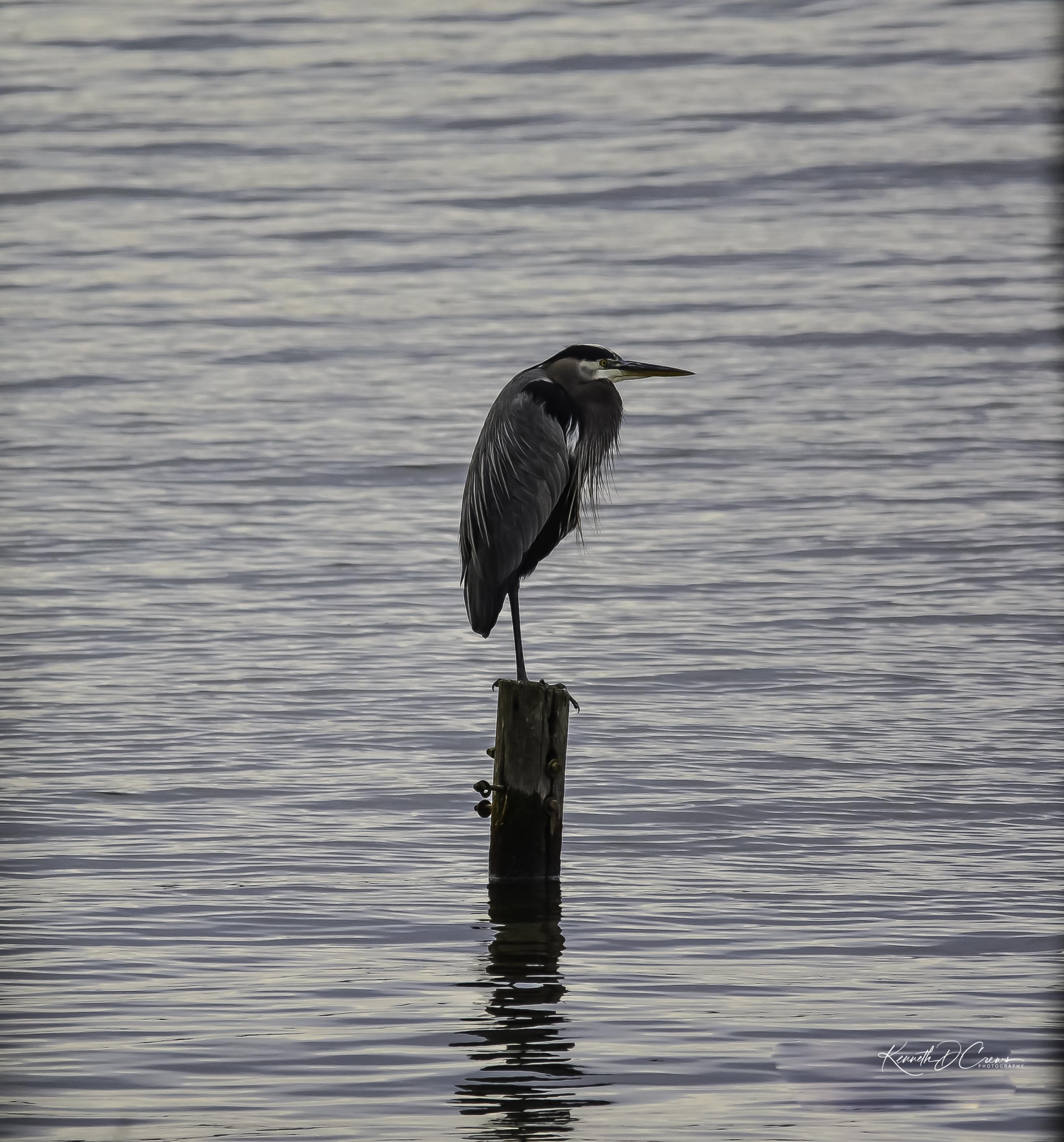 Heron - Great blue1-1