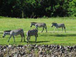 Zoo zebras-1