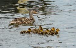 Duck family-1