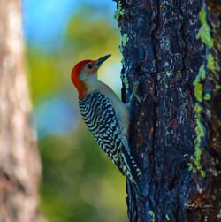 Redheaded Woodpecker-1