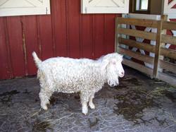 Zoo goat-1