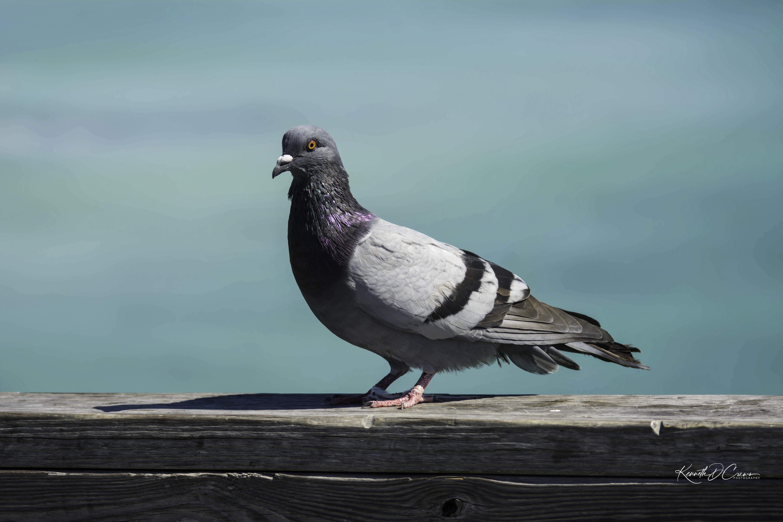 Pigeon1-1