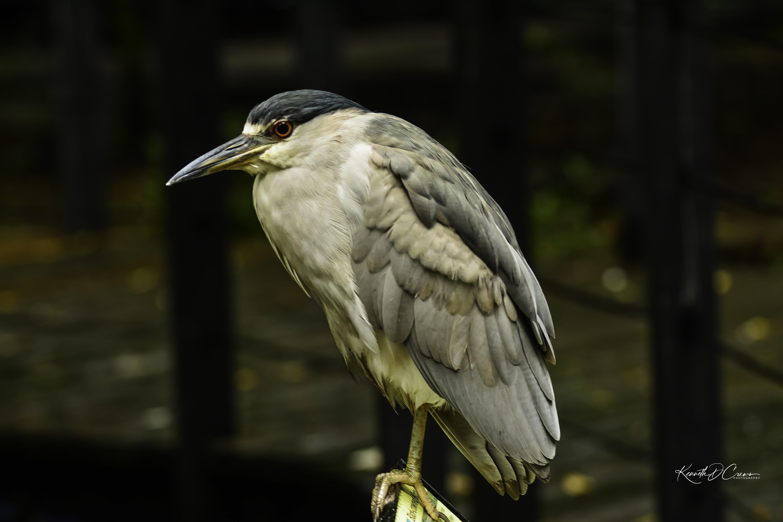 Heron - Black crowned night heron-1