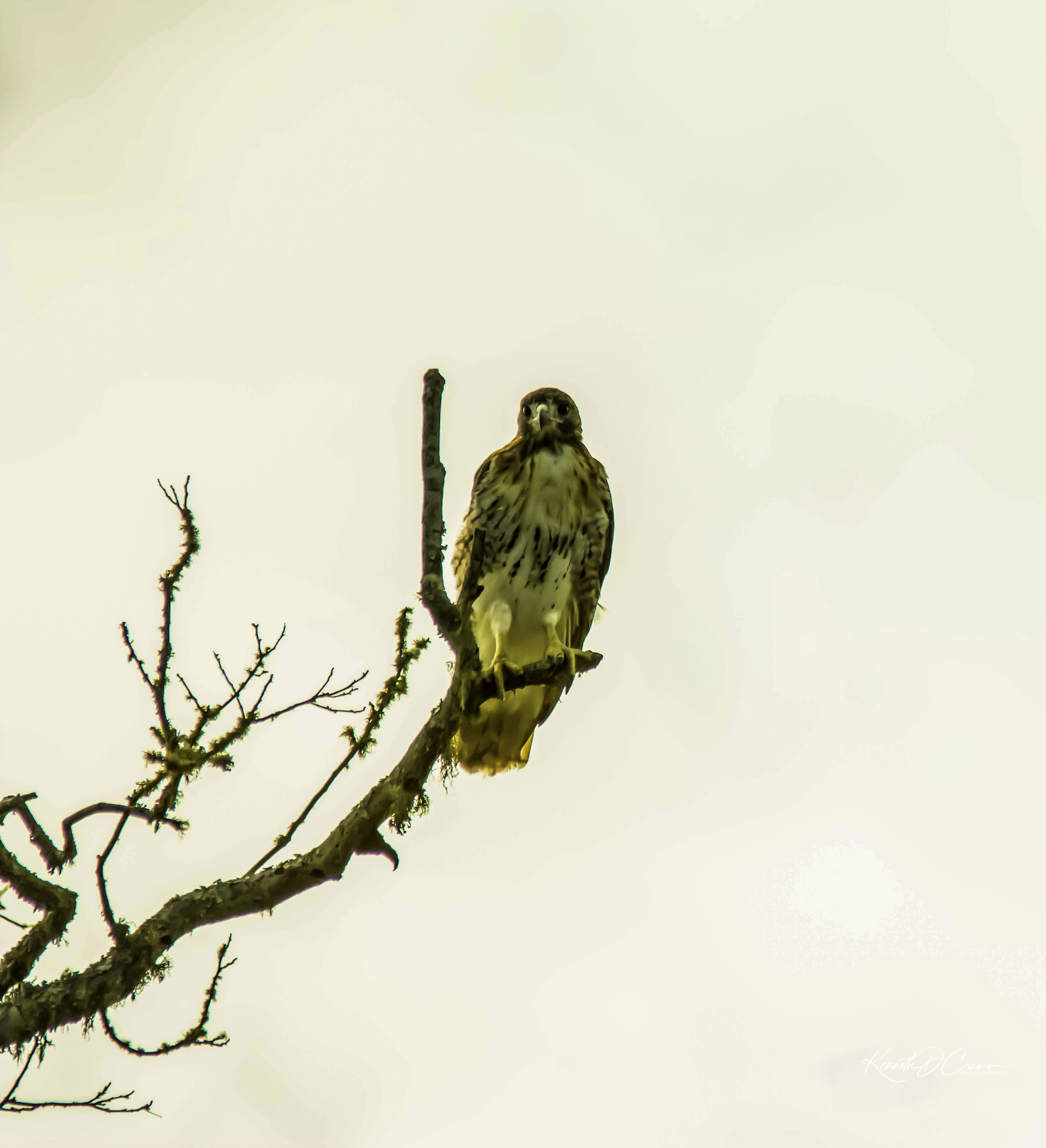 Hawk - Red tailed-1