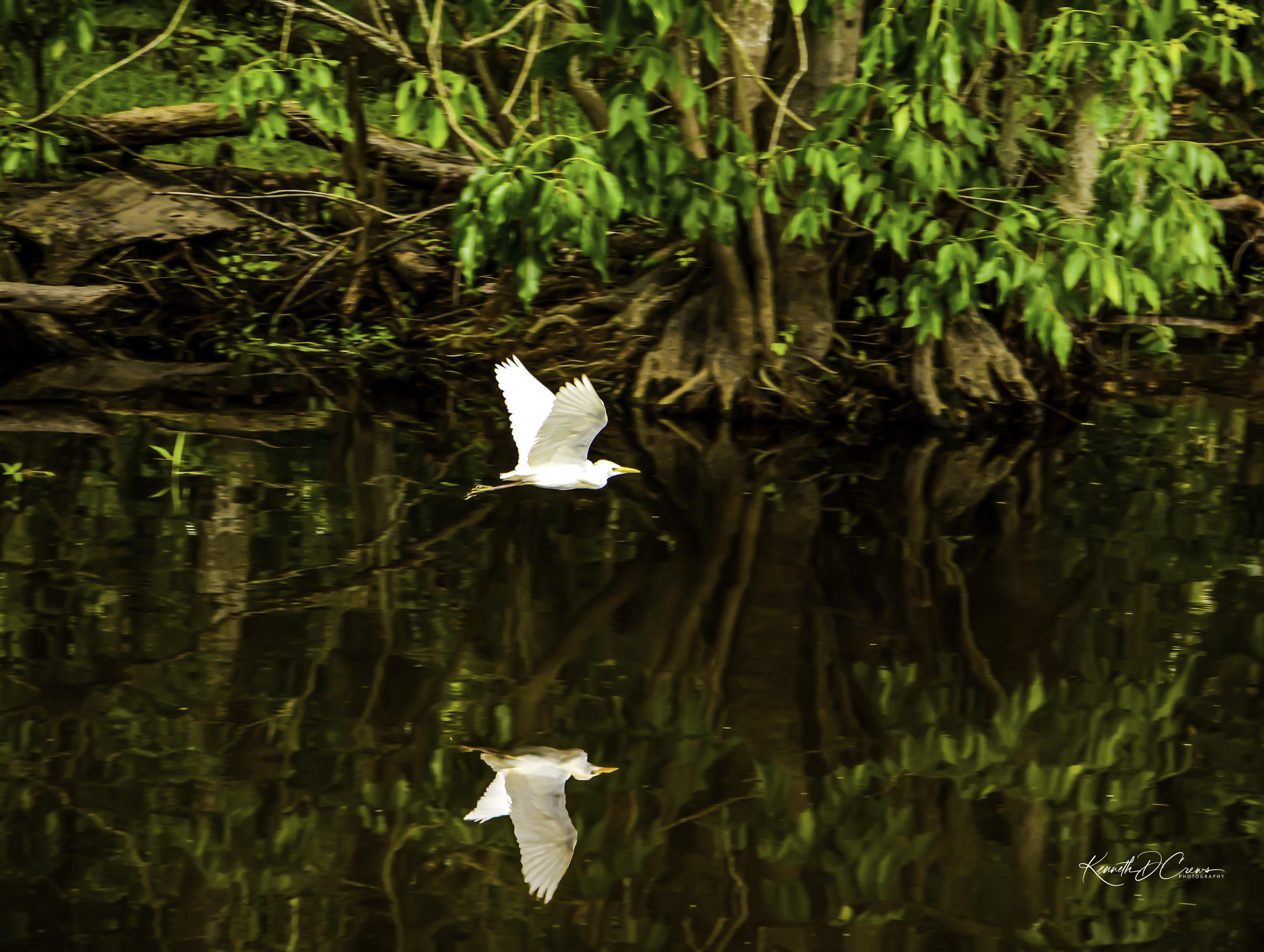 Egret flying-1