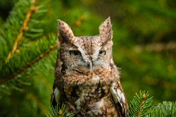 Owl1-1