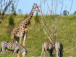 Zoo Giraffes-zebras-1