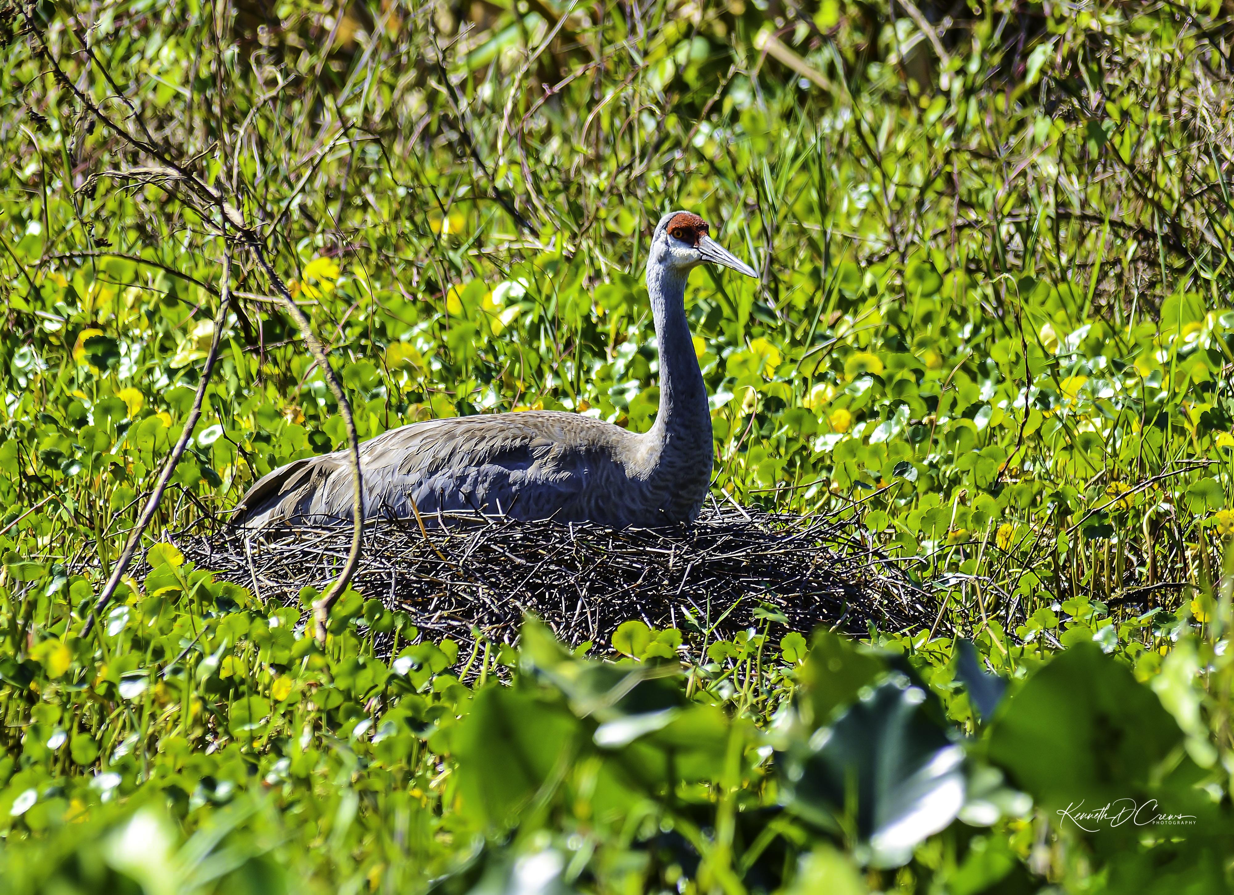 sandhill nesting-1