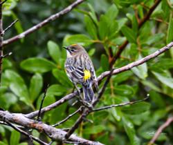 Yellow-rumped Warbler-1