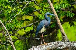 Heron - Tri-color