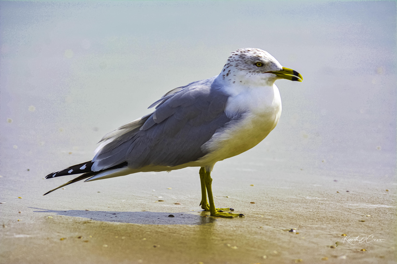 Gull - Herring-1