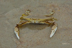 Crab-1