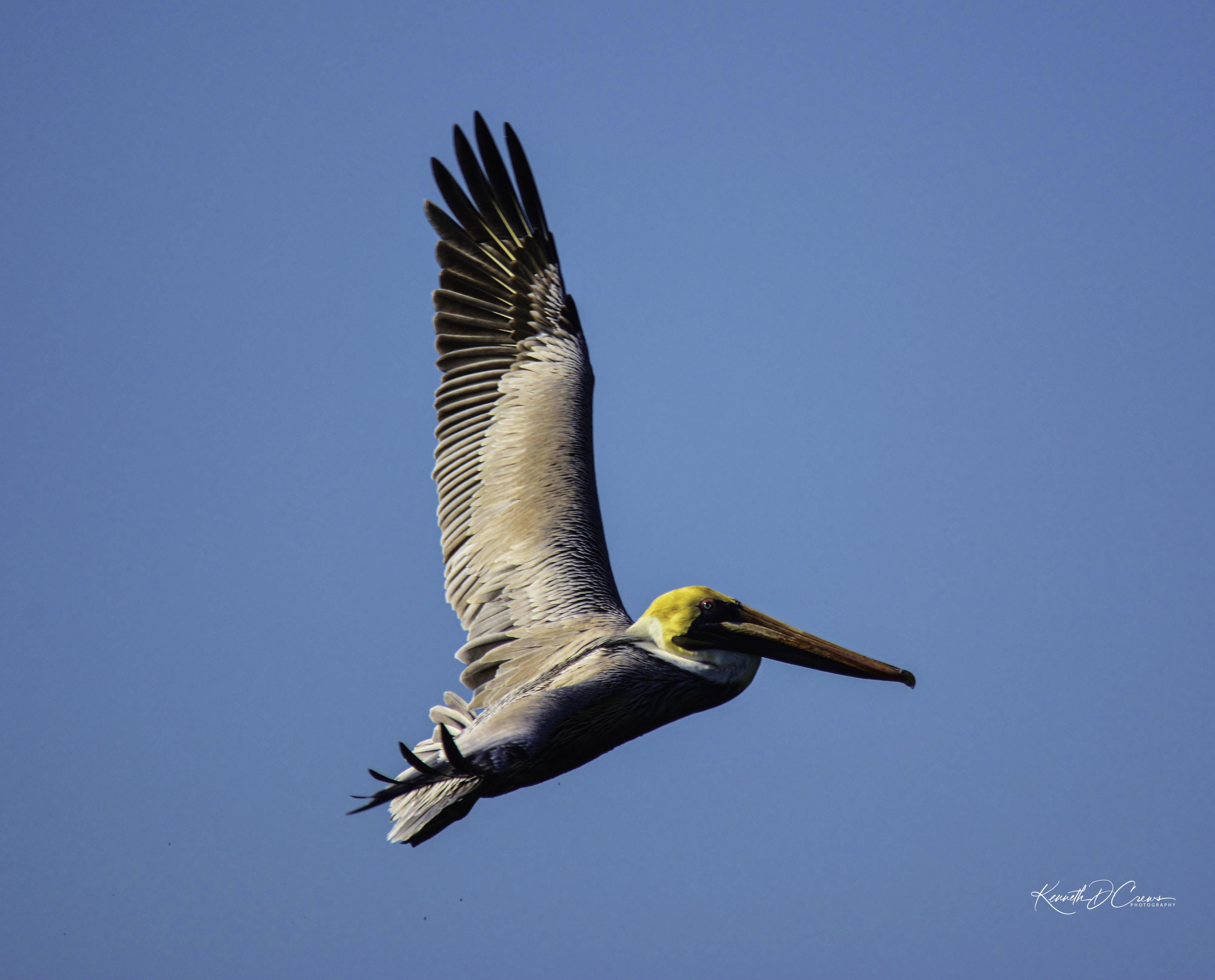 Pelican - brown1-1