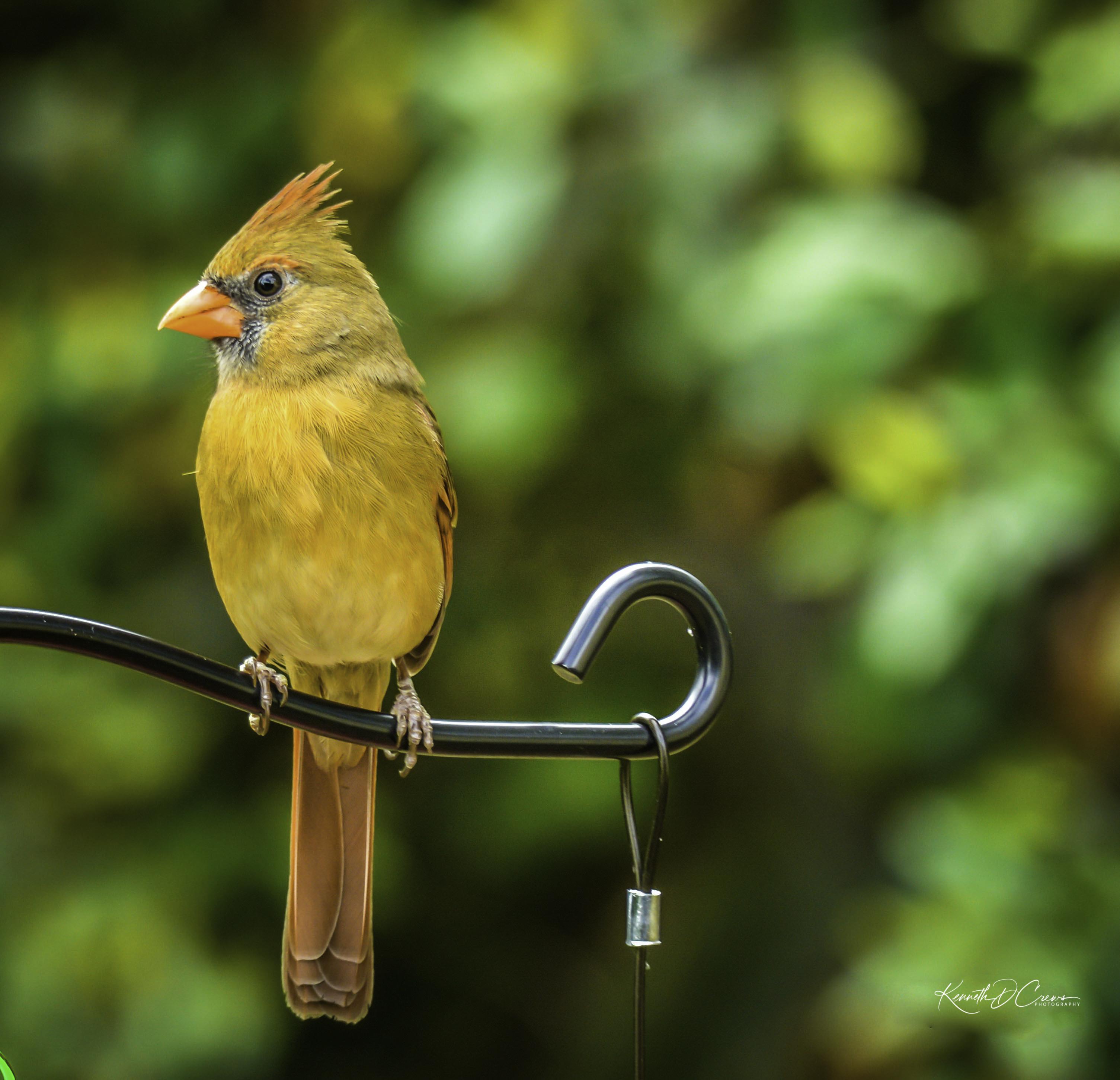 Cardinal - female-1