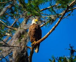 American Eagle-1