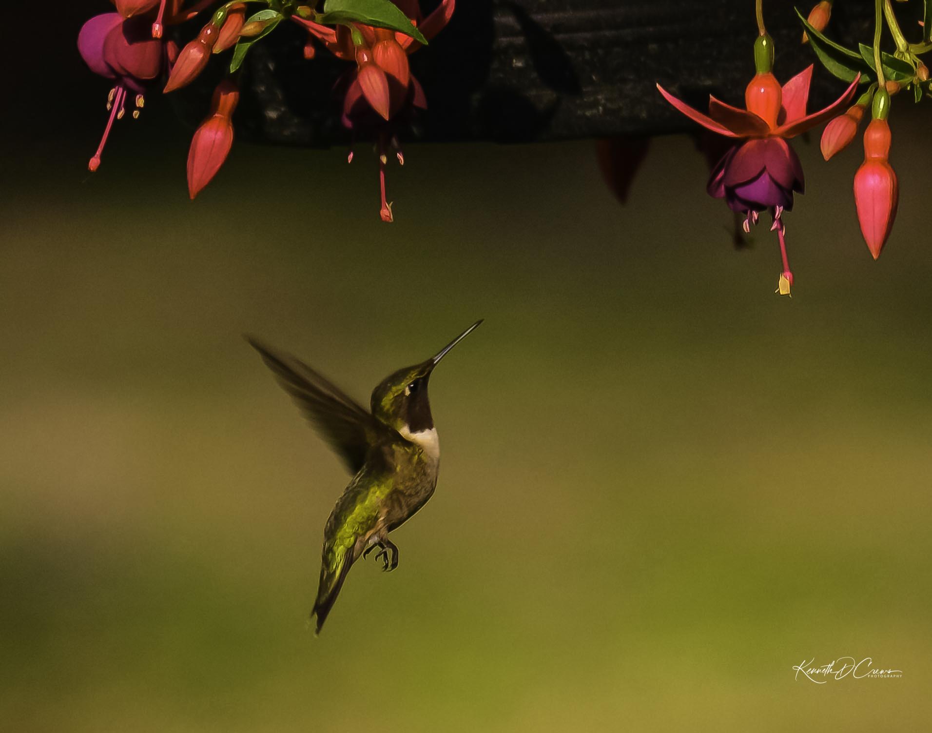 Humming Bird-1