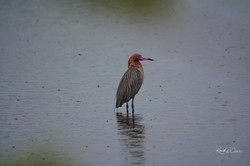 Egret - Redish in rain-1