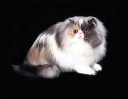 Cat1 - Camelia1-1-1
