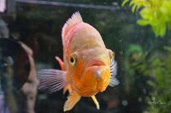 Gold fish-1