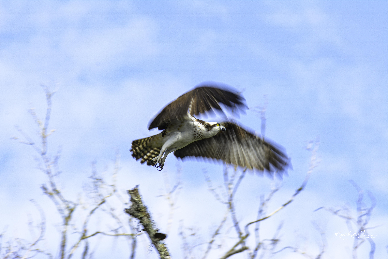 Osprey take off