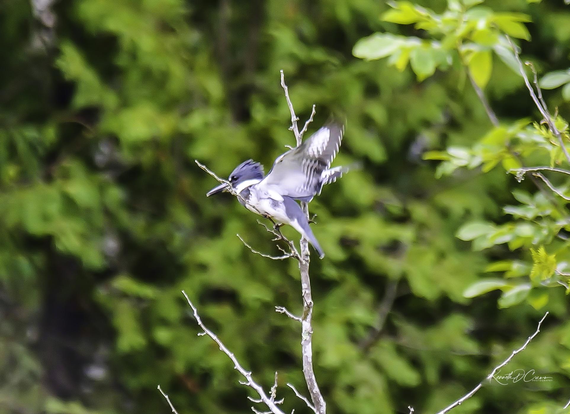 Kingfisher1-1