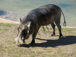 Zoo Worthog-1