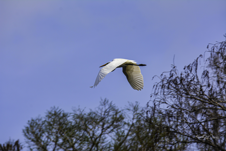 Heron - Great White in flight