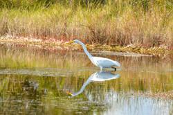 Egret - Great White