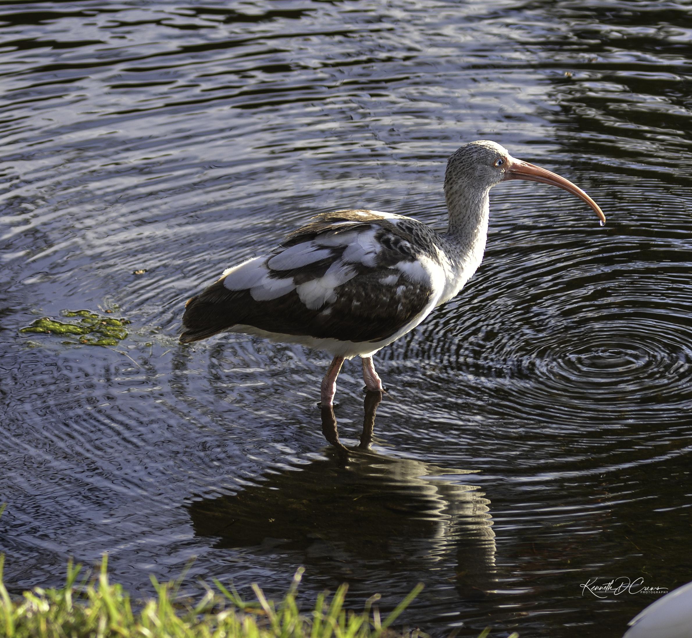 Ibis - white juvenilre 2