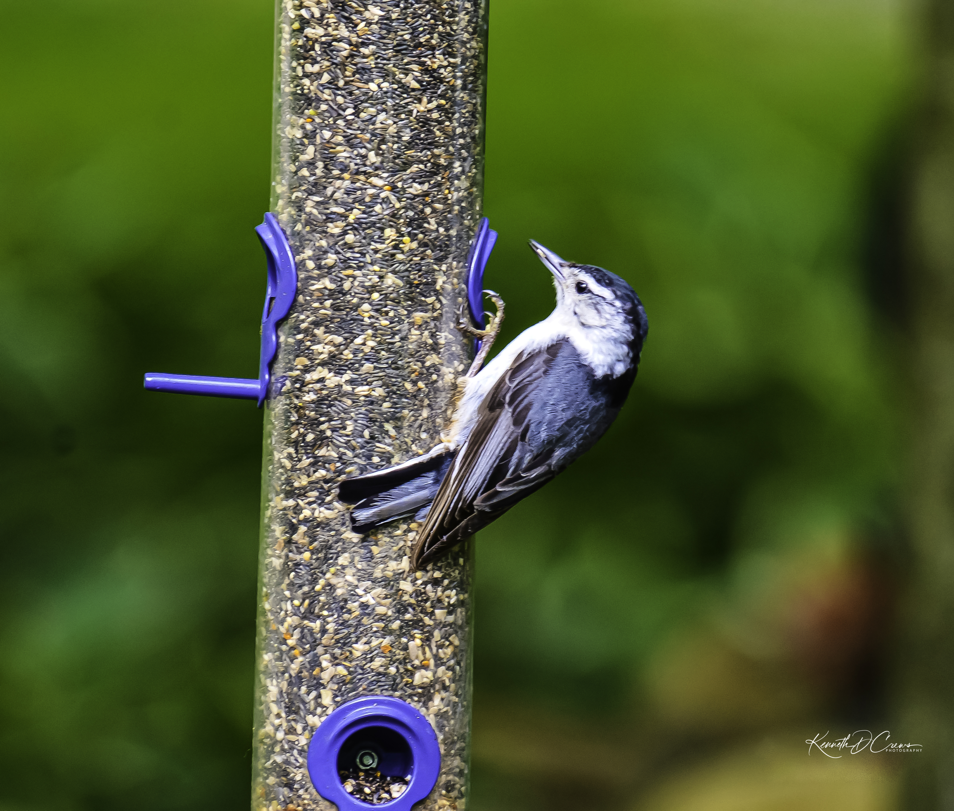 Nuthatch-White-breasted