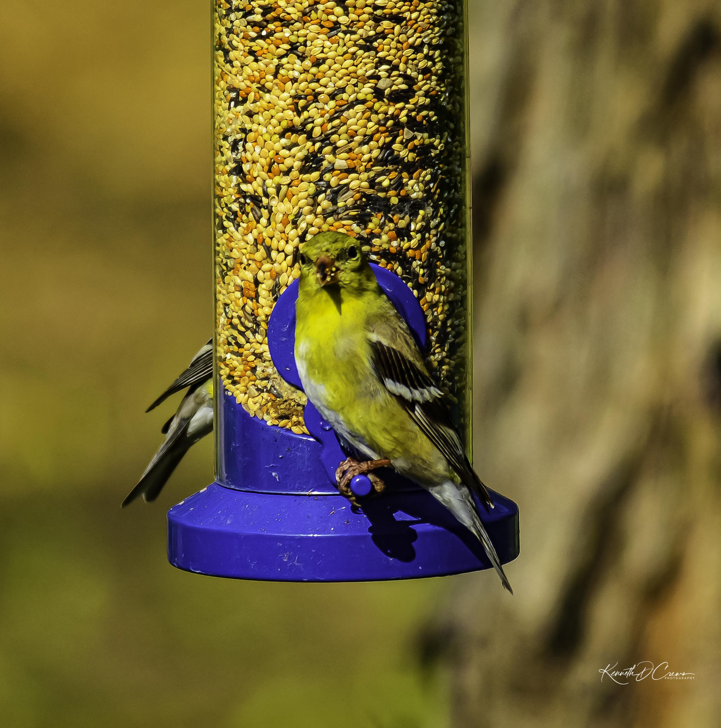 Finch Female-1