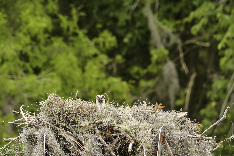 Osprey in nest-1