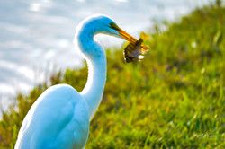 Heron - Great white with fish