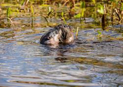 Otter kiss-1