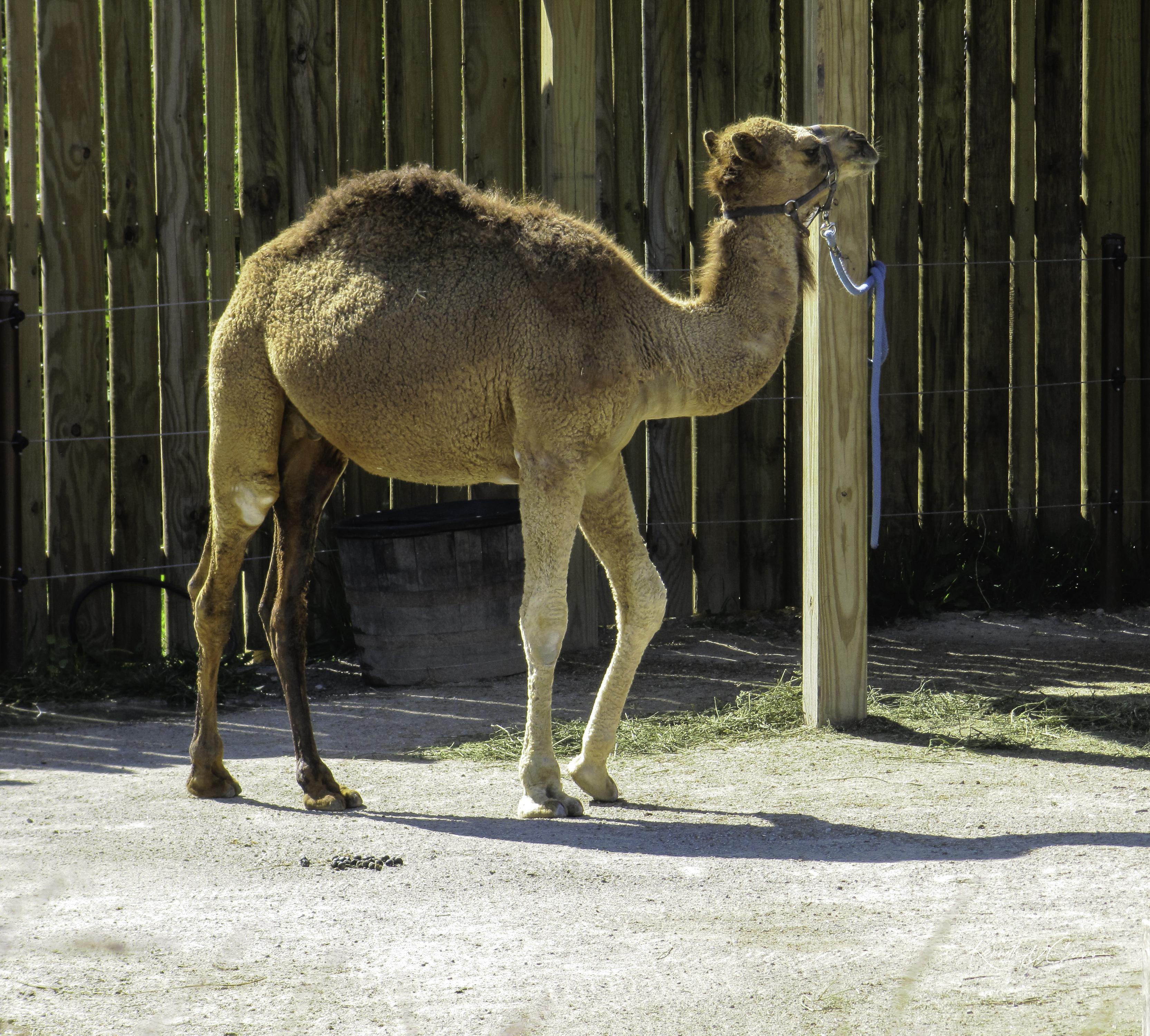 Zoo Camel-1