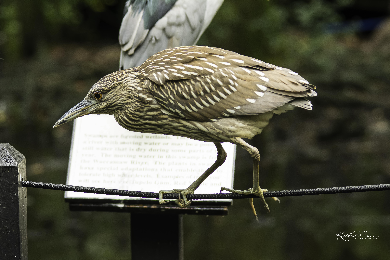 Heron - immature Black crown-1