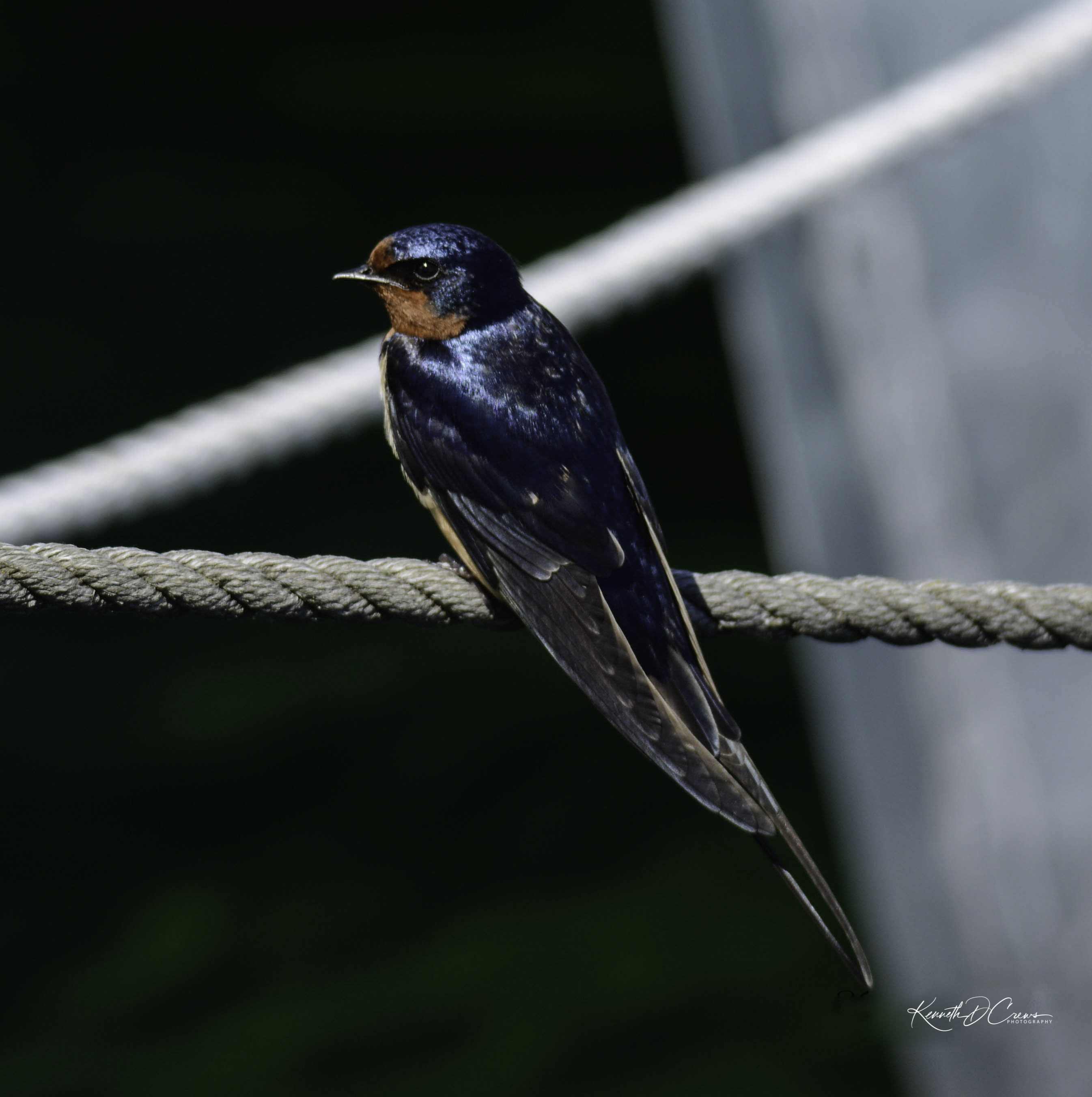 Swallow-1