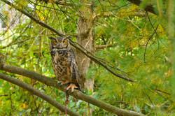 Owl3-1