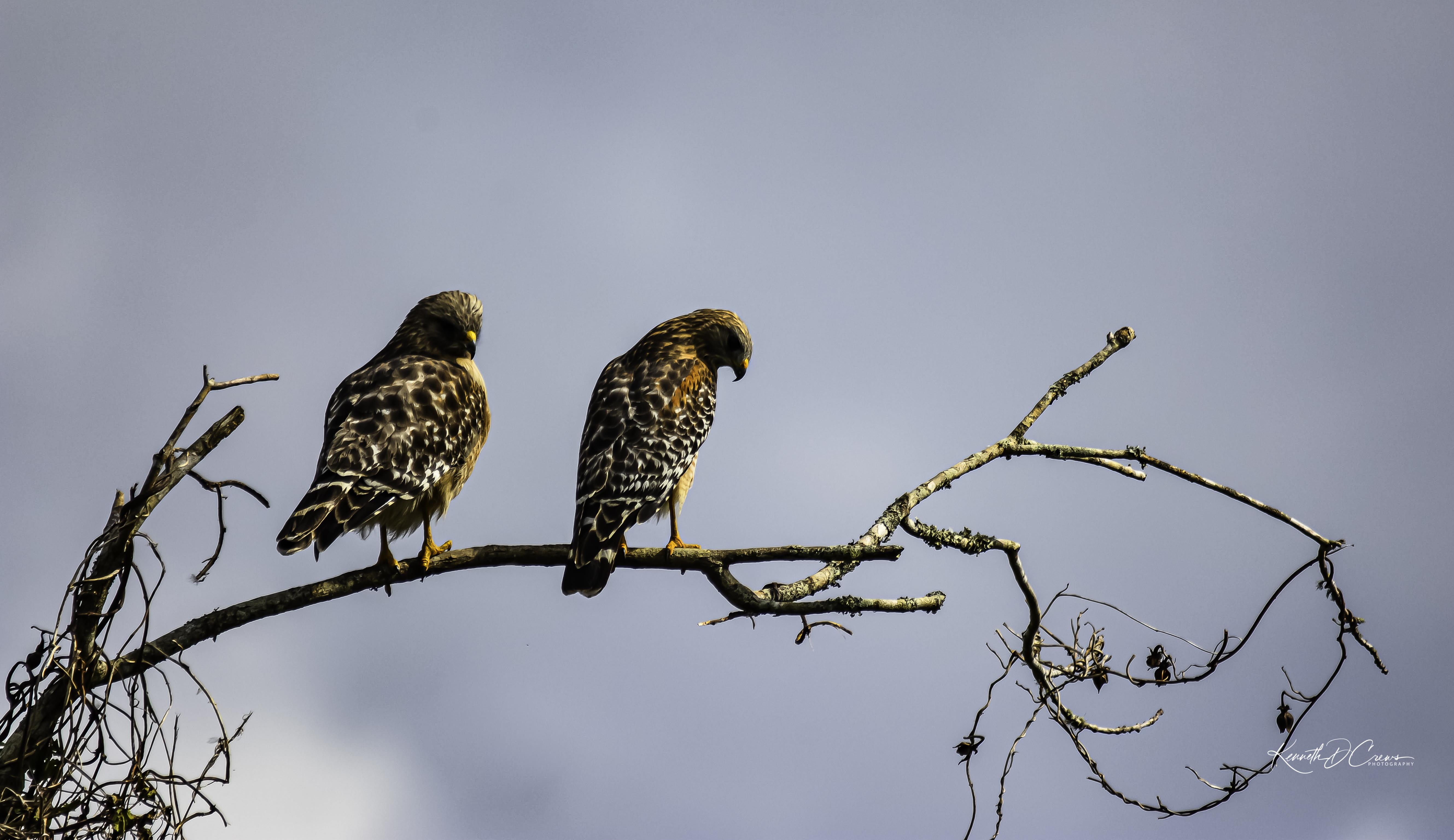 Hawks - Red-shouldered-1