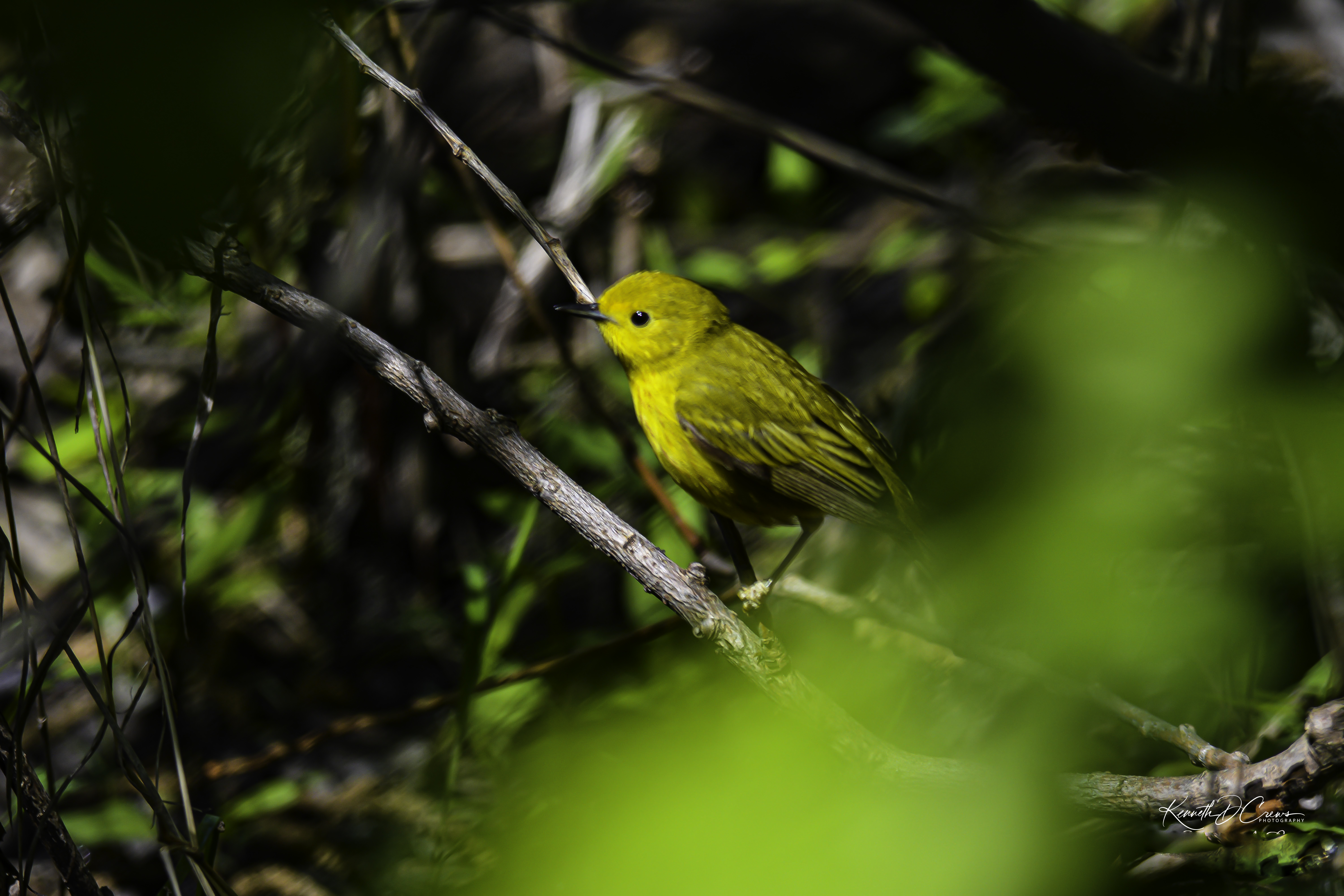 Warbler - Female Yellow -1