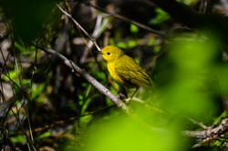 Warbler - Female Yellow -1