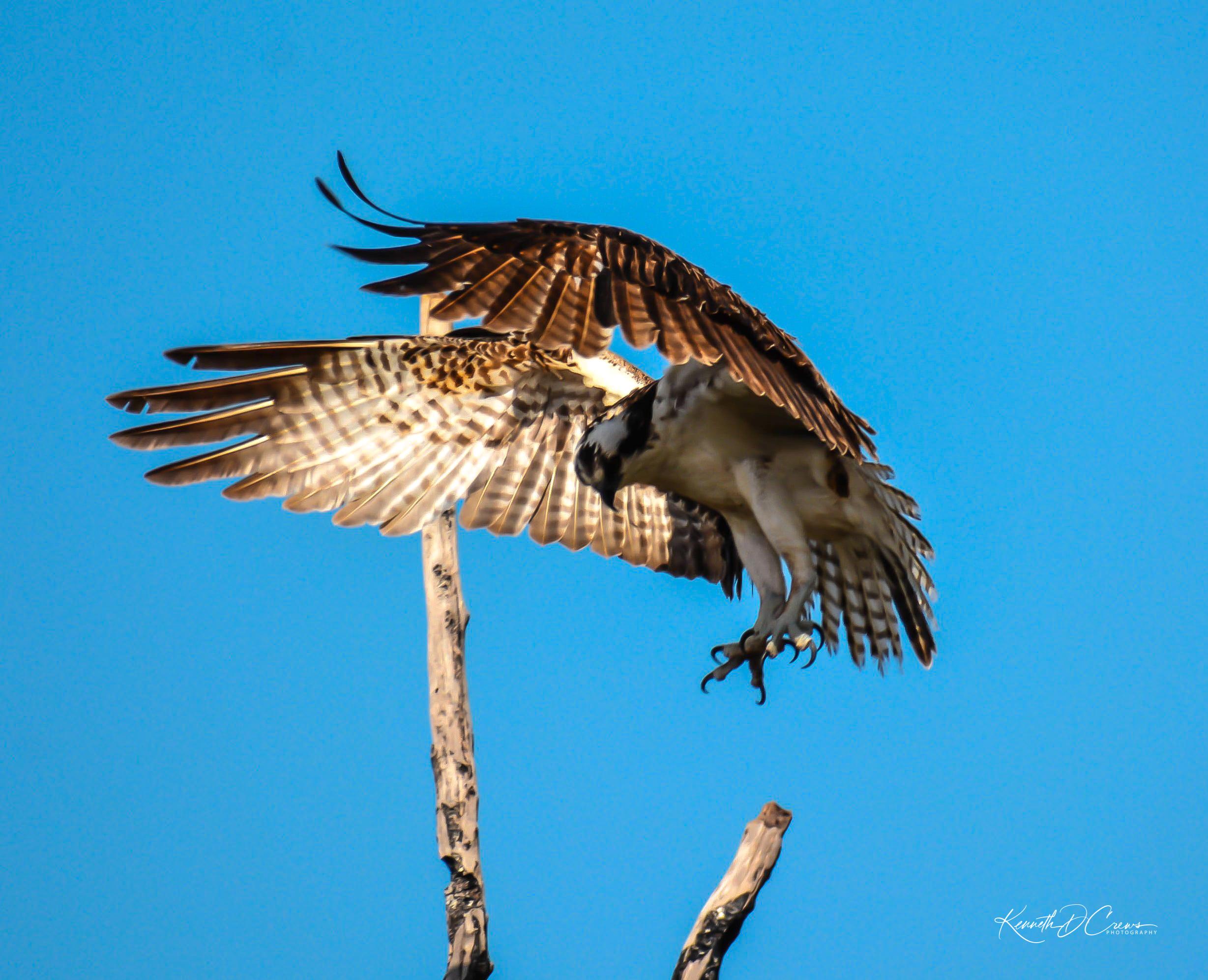 Osprey landing-4