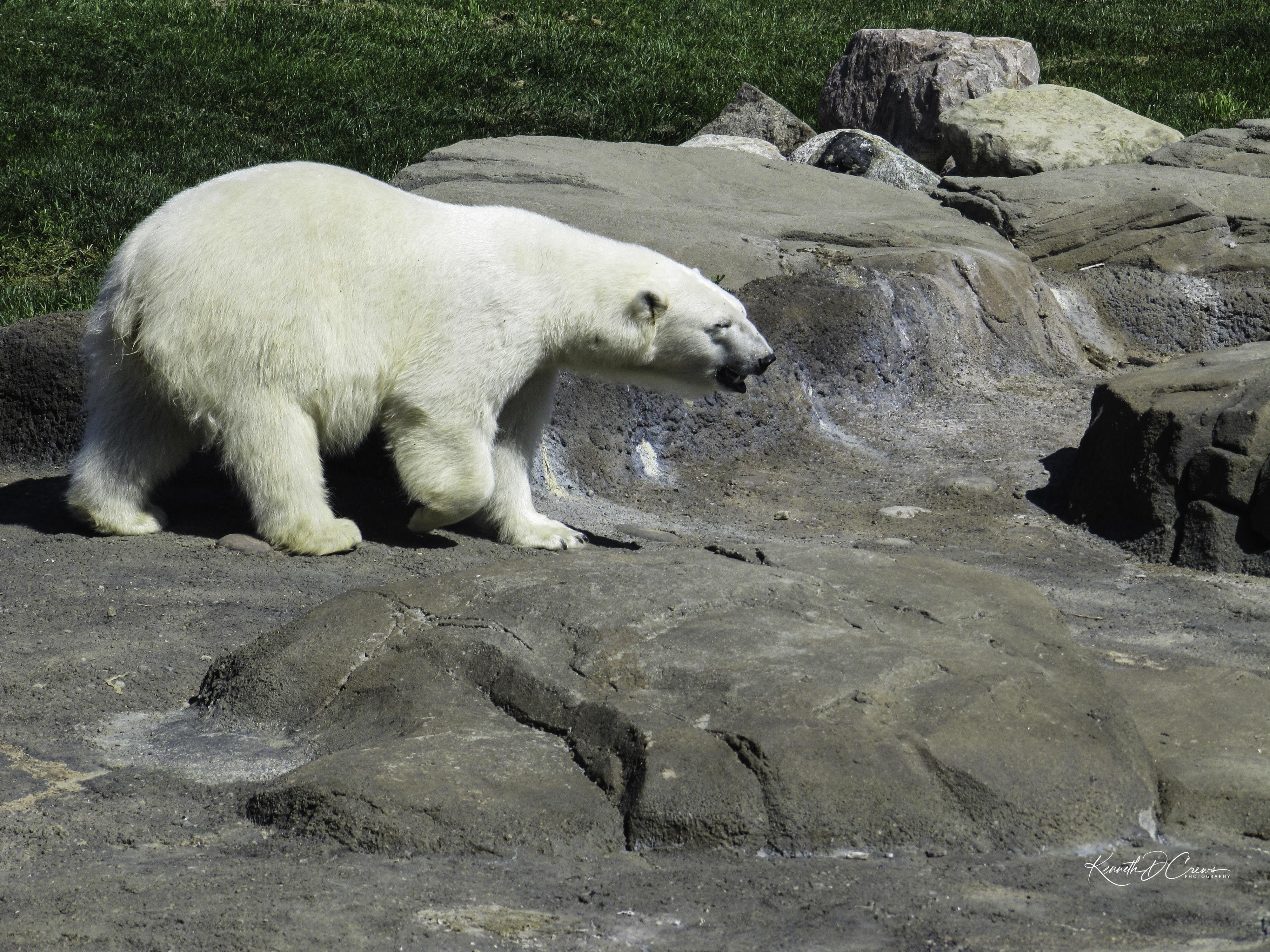 Zoo Polar Bear-1