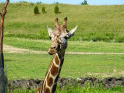 Zoo Giraffe-1